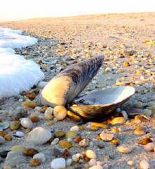 Resultado de imagem para ostra perola mar
