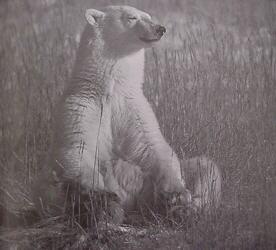 Meditando com a energia do Urso