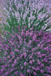 Lavanda - Lavender - Lavandula Officinalis